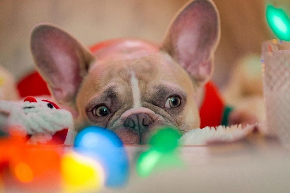french-bulldog-lying-infront-of toys-looking-sad